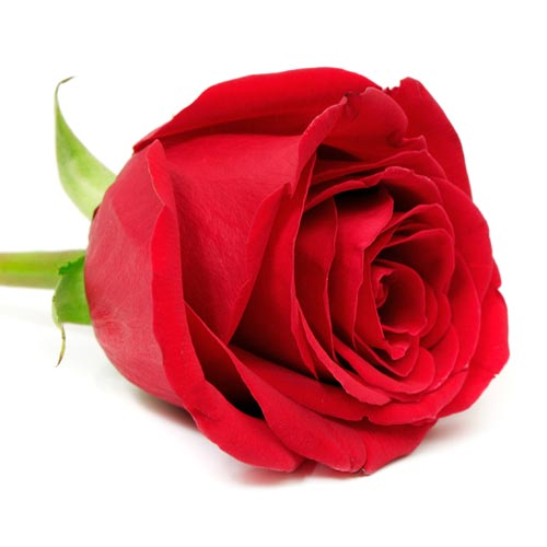Love answer: RED ROSE