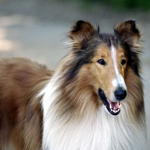 Movie Heroes answer: LASSIE