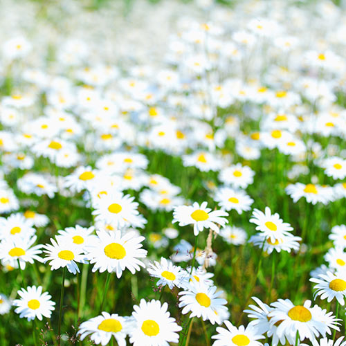 Nature answer: DAISIES