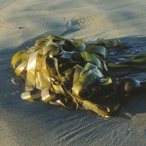 North America answer: KELP