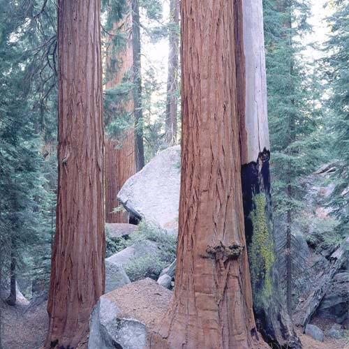 North America answer: SEQUOIA