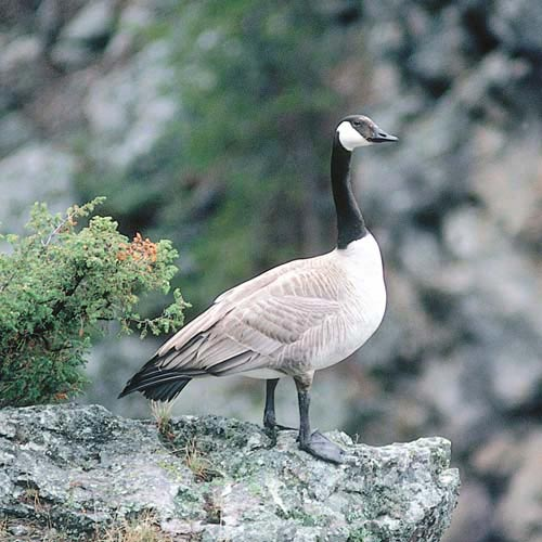 North America answer: CANADA GOOSE