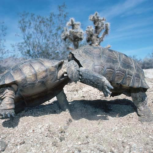 North America answer: TORTOISES