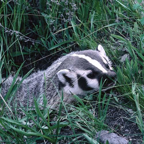 North America answer: BADGER