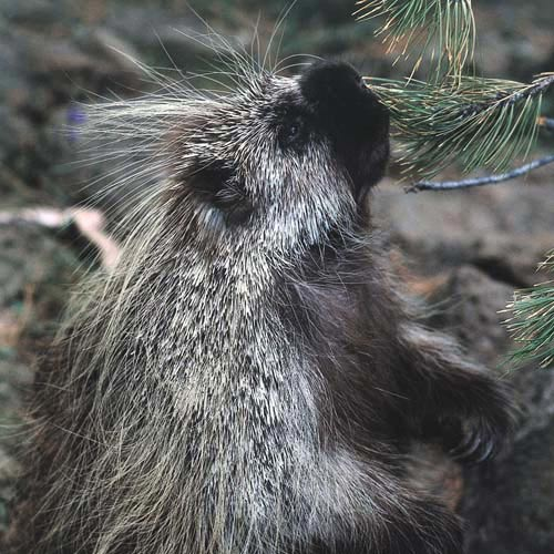 North America answer: PORCUPINE