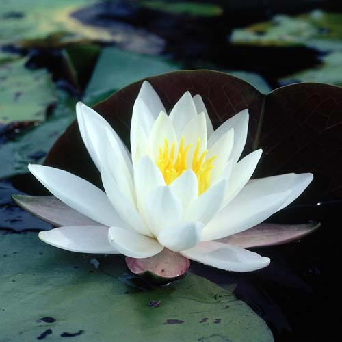 North America answer: WATER LILY