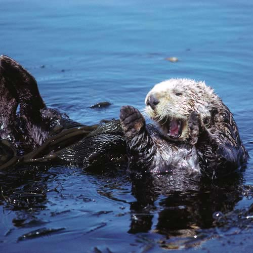 North America answer: SEA OTTER