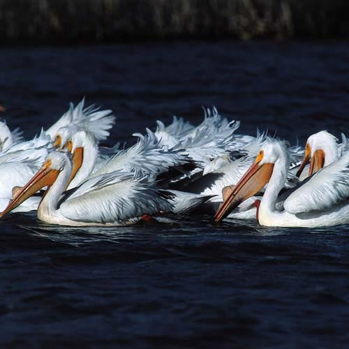North America answer: PELICANS