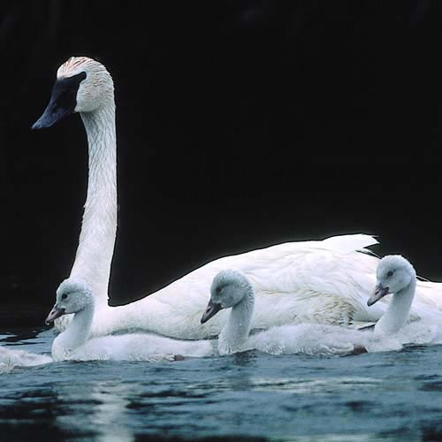 North America answer: SWAN