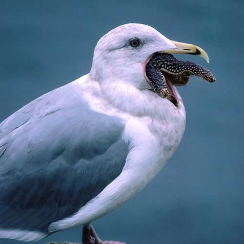 North America answer: SEA GULL