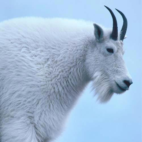 North America answer: MOUNTAIN GOAT