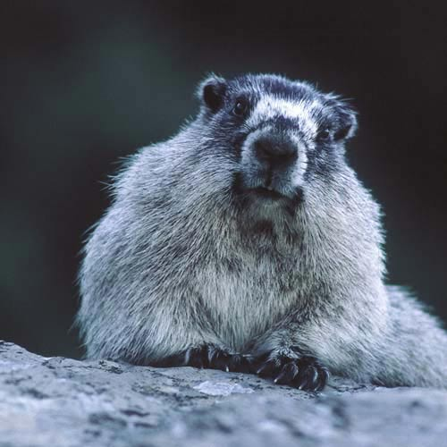 North America answer: MARMOT