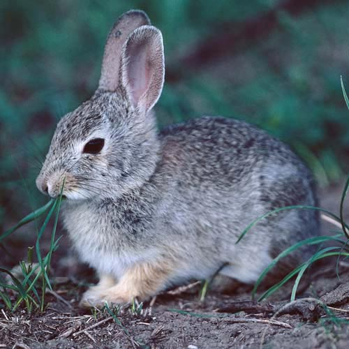 North America answer: RABBIT
