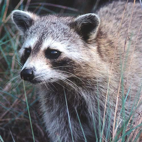 North America answer: RACCOON