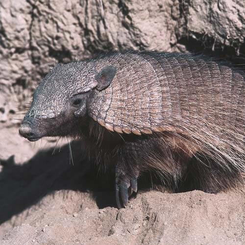 North America answer: ARMADILLO