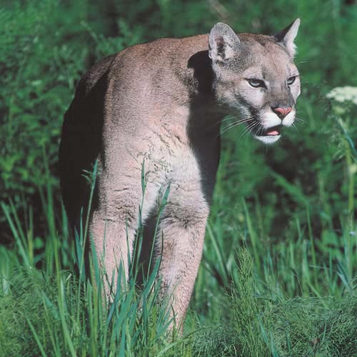 North America answer: MOUNTAIN LION