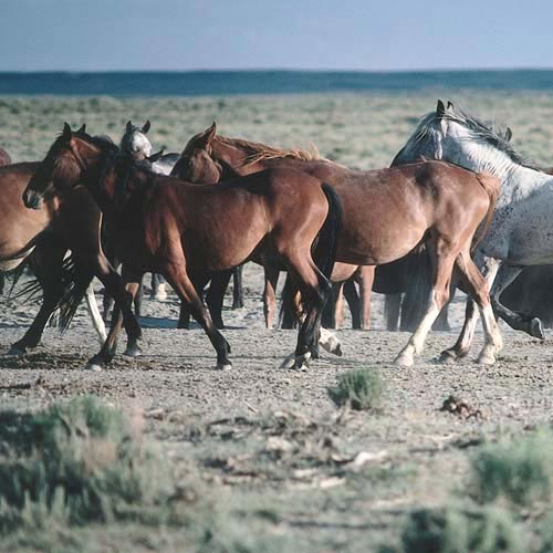 North America answer: WILD HORSES