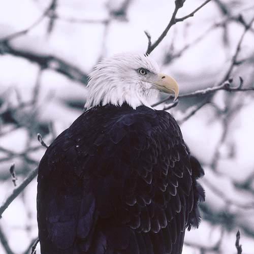 North America answer: BALD EAGLE