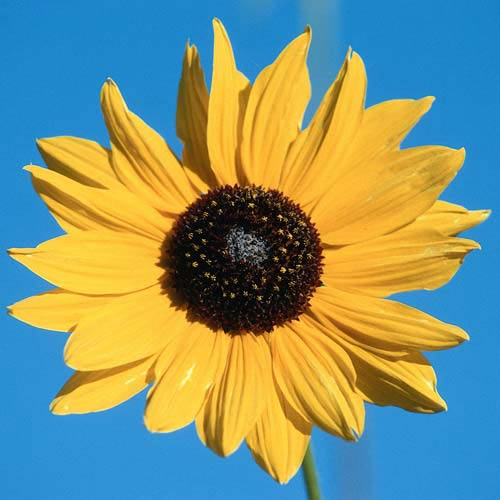North America answer: SUNFLOWER