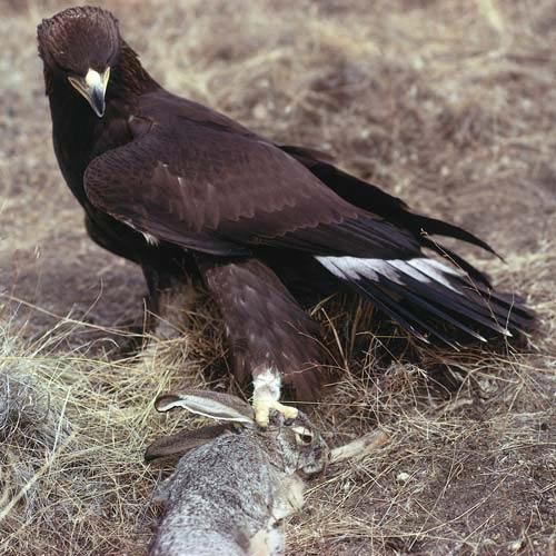 North America answer: GOLDEN EAGLE