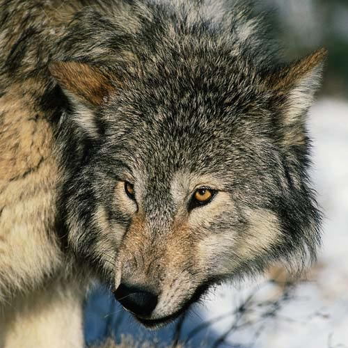 North America answer: WOLF