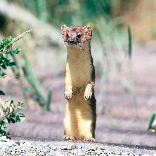 North America answer: WEASEL