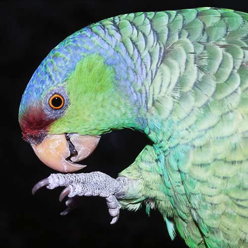 North America answer: PARROT