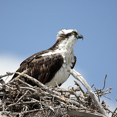 O is for... answer: OSPREY
