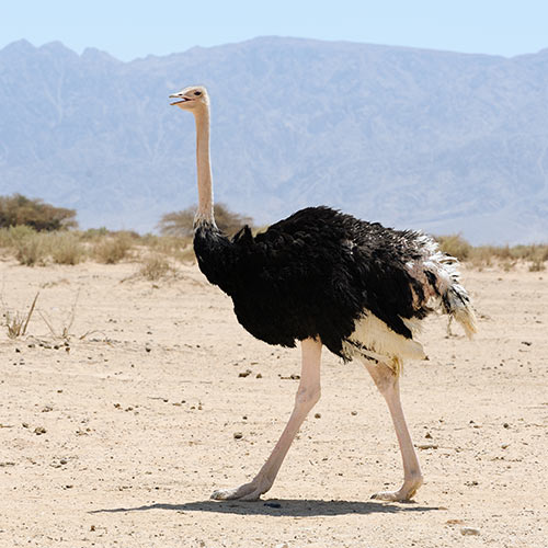 O is for... answer: OSTRICH