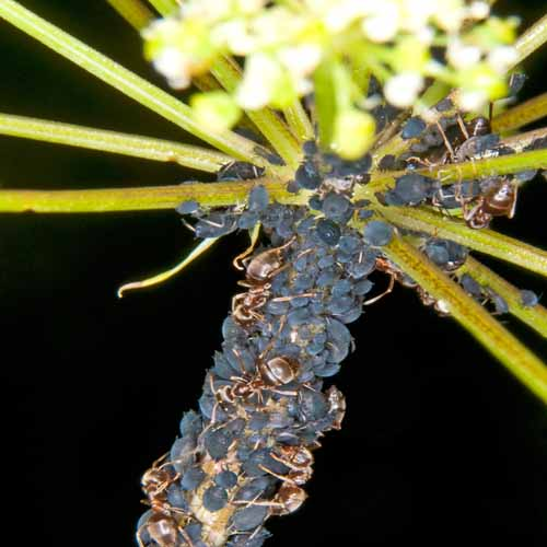 On The Farm answer: APHIDS