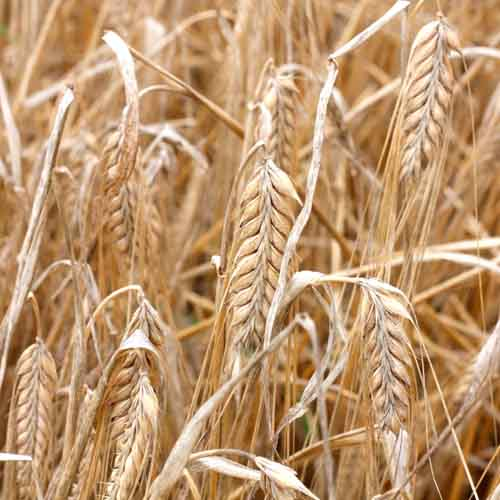 On The Farm answer: BARLEY
