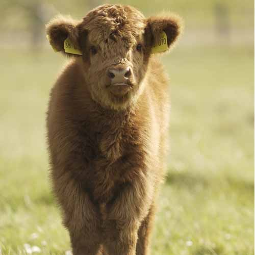 On The Farm answer: CALF