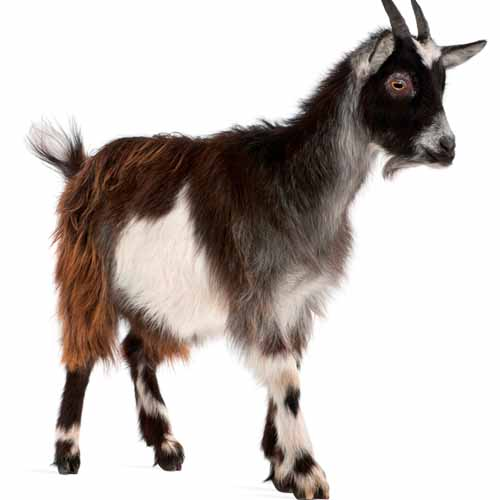 On The Farm answer: GOAT