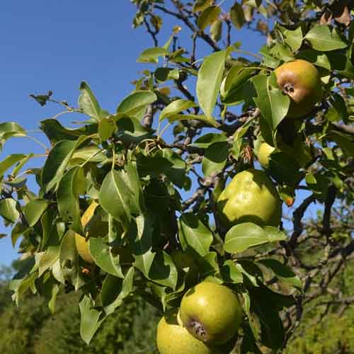 On The Farm answer: PEAR TREE