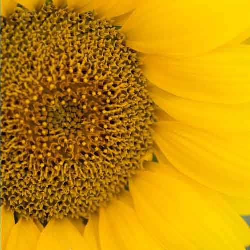 On The Farm answer: SUNFLOWER