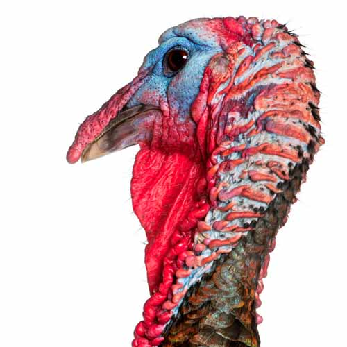 On The Farm answer: TURKEY