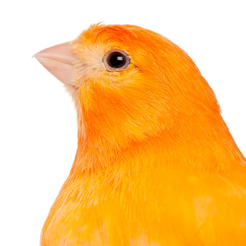 Pets answer: CANARY