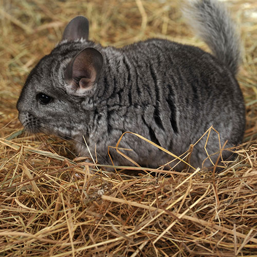 Pets answer: CHINCHILLA