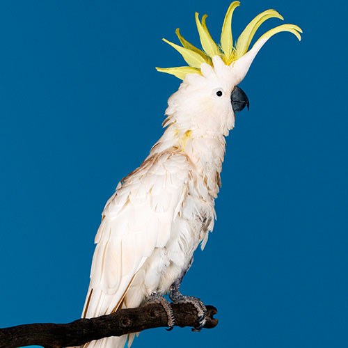 Pets answer: COCKATOO