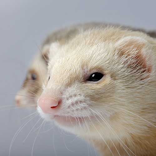 Pets answer: FERRET