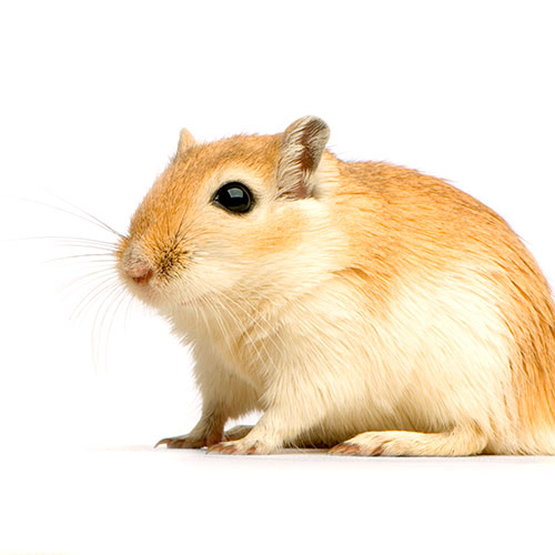 Pets answer: GERBIL