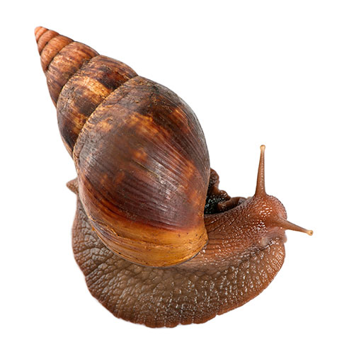 Pets answer: GIANT SNAIL
