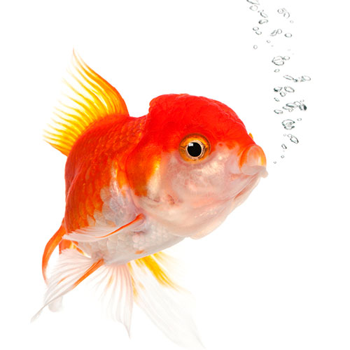 Pets answer: GOLDFISH