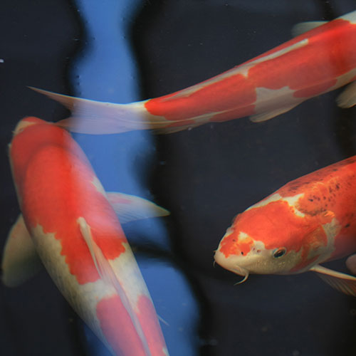 Pets answer: KOI CARP
