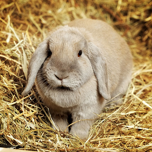 Pets answer: LOP-EARED