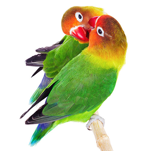 Pets answer: LOVEBIRDS
