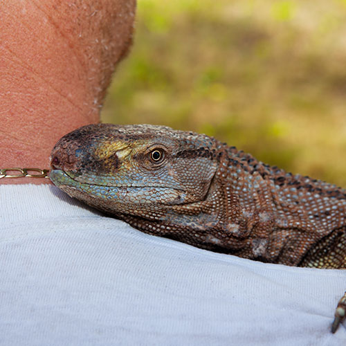 Pets answer: MONITOR LIZARD