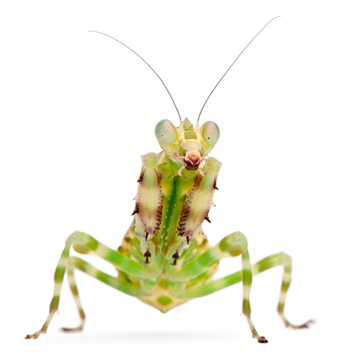 Pets answer: PRAYING MANTIS