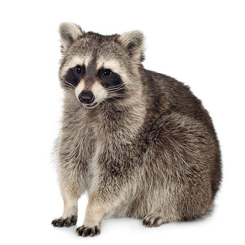 Pets answer: RACCOON