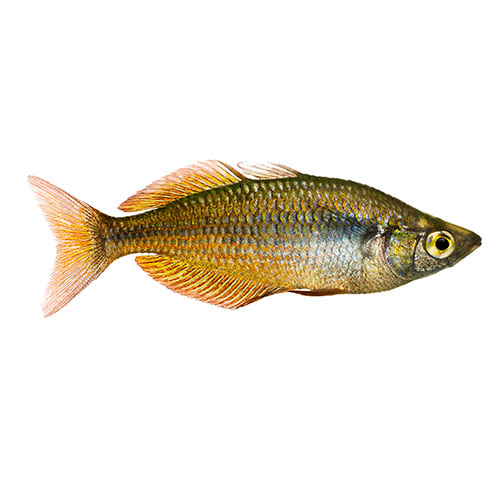 Pets answer: RAINBOWFISH